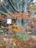 675cm, právě tolik má, dle měření v roce 1995, obvod tohoto nádherného buku u Dolní Sněžné. Pěkný kousek!