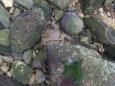 Ve změti různobarevný kamínků se potuluje z dálky těžko viditelný krab.