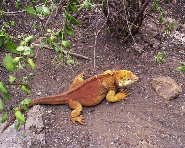 Galapágy-leguán