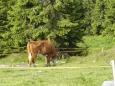 I tady pasou krávy, a tak si člověk chvílemi připadá jako v Alpách. Jen ten výhled je trochu jiný.