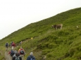 Naši cestu střeží kráva.
