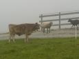 """""""Kdopak to k nám zase přišel?"""" ptají se sebe navzájem krávy a ovce."""