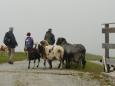 Drzé ovce na cestě.