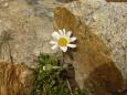 Kopretinka mezi kameny.
