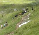 Cestou mezi kravami...