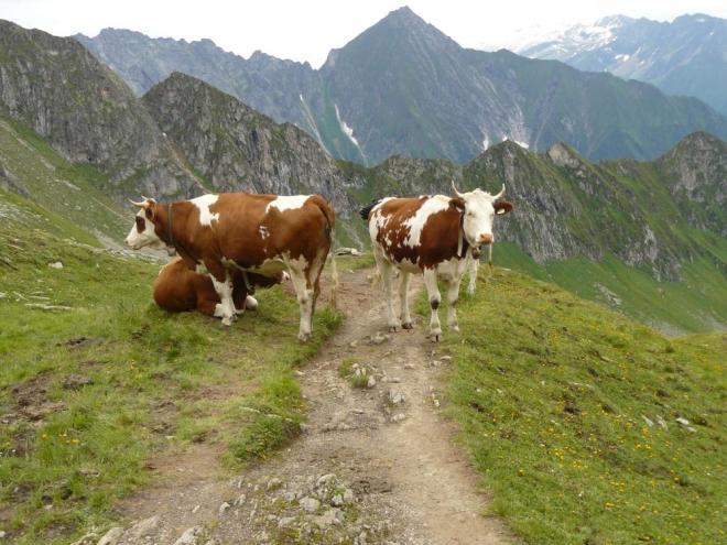 Krávy nám zastoupili cestu a vypadají bojovně. Tam nás pustili snadno, zpátky už nechtějí, holky jedny. :) Co jim asi za průchod dáme?