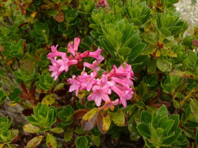 Rododendron (nejspíš)