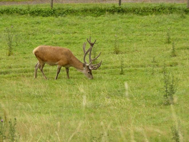 Dominantní jelen, kousek vedle má i harém.