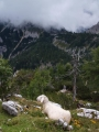 Ovce kochající se výhledem k horám.