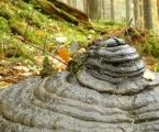 Co vám tato houba nejvíce připomíná?