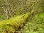 Padlý strom u řeky