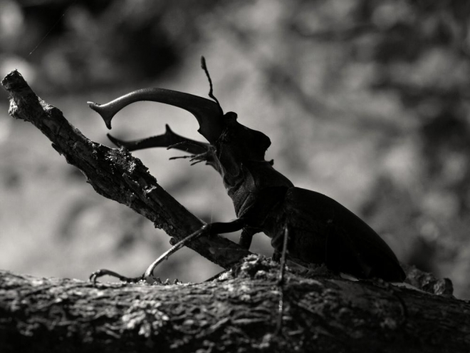 3. Starých a rozpadlých dubů se v okolí mého bydliště vyskytuje dost, ale až letos se mi podařilo na vlastní oči spatřit největšího brouka Evropy, roháče obecného. Na mne dělá z více fotek nejlepší dojem tahle černobílá varianta z jeho profilu.