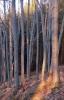 Slunce míří stále níž a vytváří zvláštní růžové zbarvení okolních buků.