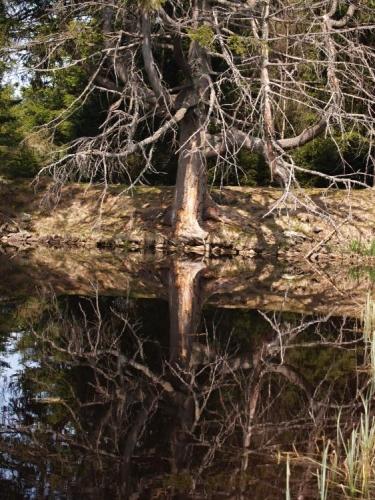 Stoletý smrk i z druhé strany, od jezera.