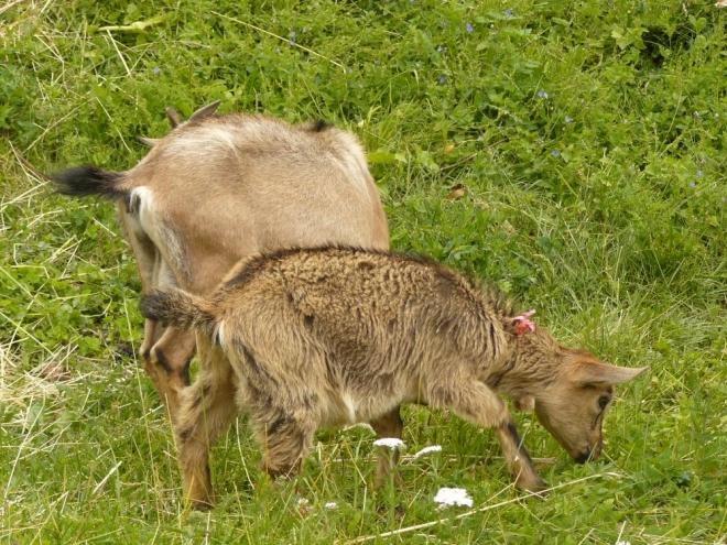 Kozy chované poblíž jedné chaty