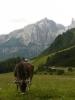 Kráva a v pozadí část Sella Rondy