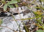 Saranče svým maskováním splývá s okolními kameny.