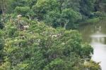Kolonie hnízdících volavek přitažena zoomem.