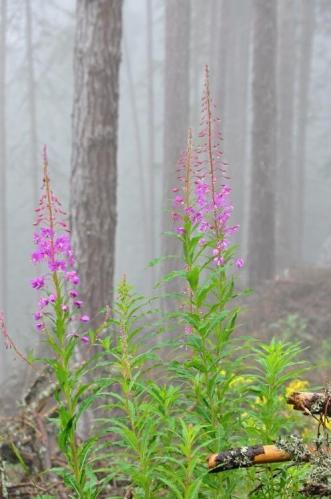 Vrbovka úzkolistá, častá při okrajích lesů. Za vzácnější flórou musíme podstatně výš. Lena(Tatlanka) má s sebou i malý atlas s rostlinkami Vysokých Tater.