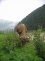 Kráva a bodláky, Koločava