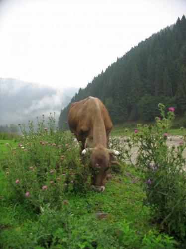 Kráva a bodláky
