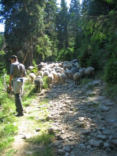 Postupně scházíme do lesa, kde potkáváme velké stádo ovcí v čele s kozou. Bača je musí hnát pěkně z daleka a moc se s nimi nemaže.