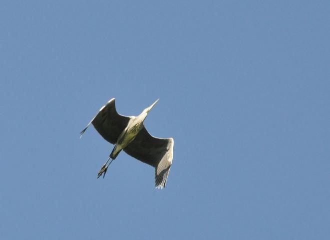 Volavky začaly nalétávat k Podroužku, kde jistě něco k snědku po rybářích najdou.