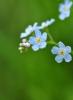 9.S ROSOU: slzy nebes se snáší na květy pomněnek, aby mohly stále modře zářit do našich tváří...