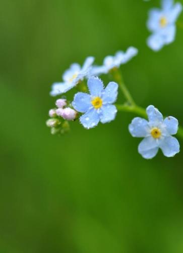 9.S ROSOU: slzy nebes se snáší na květy pomněnek, aby mohly stále modře zářit do našich tváří.