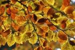 11.BARVY: svůj půvab listy bučin získávají v podzimních plískanicích, kdy by psa ven nevyhnal...