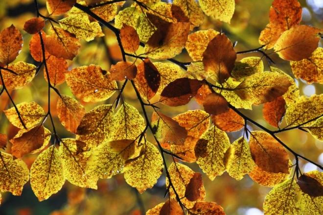 11.BARVY: svůj půvab listy bučin získávají v podzimních plískanicích, kdy by psa ven nevyhnal.