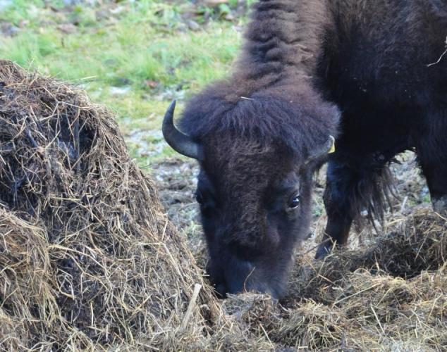 Prášily, bizoni.