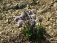 na skalách kde je sluníčko kvetou koniklece