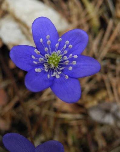 Jedny z prvních jarních kvítků, jaterníky, září modře v nekonečné monotónní šedi spadaného jehličí a suchých bukových listů.