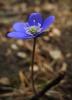 Tato vytrvalá bylina je vysoká 5 až 25 cm a její květonosné, měkce chlupaté, červenohnědé stonky vyrůstají v počtu 2 až 9, V době květu je bezlistá.