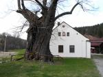 Její stáří je odhadováno na více než 600 let, ale já bych jí klidně nějaké století ještě přidal. Torzo kmenu je opravdu obrovské. Délkou jeho obvodu11,7m jde o druhou největší rostoucí lípu u nás. Výška stromu je 30 metrů, průměr koruny 22 metrů.