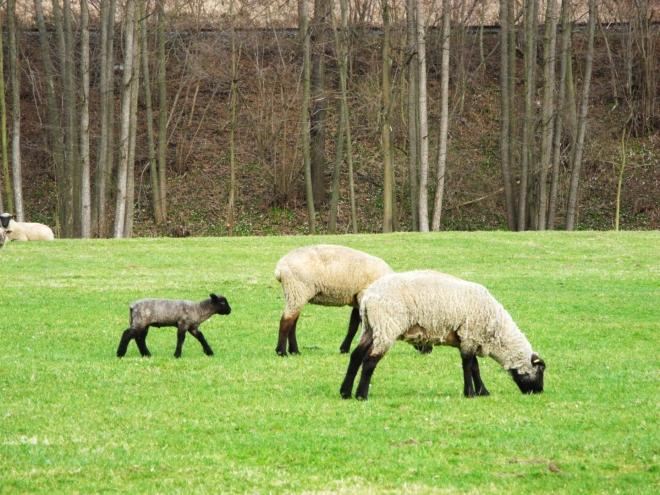 Procházíme loukou kolem řeky a pasoucích se ovcí a jehňat.