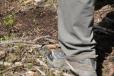 Nejdeme přímo k Helfenburku, ale podcházíme hřeben neznačenou cestou k vrchu Duškovec. Lesní mravenci využívají jarního slunce k zahřátí svých těl.