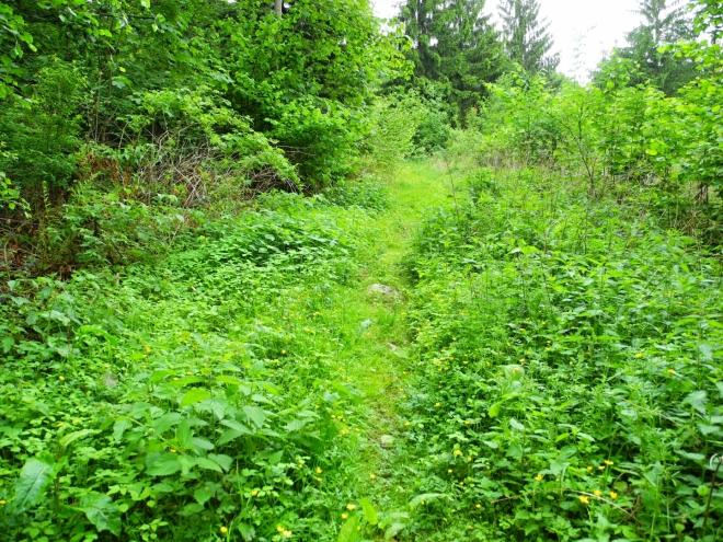 Další rostlinkou, která nám zpříjemňuje cestu, je kopřiva. Ve volném terénu opravdu hojná. Naštěstí se ale většinou jde příjemným vzrostlým lesem.