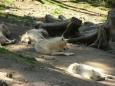 Vlci v zoo (Tomáš Novotný)