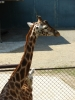 Žirafa (Tomáš Novotný)
