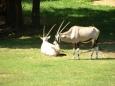 Orixové jihoafričtí (Tomáš Novotný)