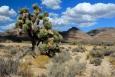 Yucca brevifolia - Juka krátkolistá (Joshua tree)