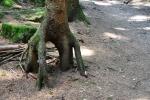 Chůdovité stromy na stezce.