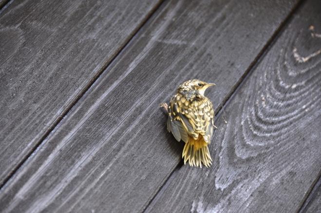 Mladý ptáček je asi krutihlav. Hlavinkou kroutí dost, skoro se bojím, že si ji ukroutí.