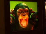 Šimpanz si před námi radši zacpává uši.