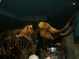 Kostra mamuta v sálu doby ledové