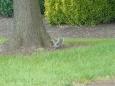 Veverky člověk vidí v kampusu často. Člověka už se bojí jen trochu, lezou do popelnic a asi se mají jako prasata v žitě.
