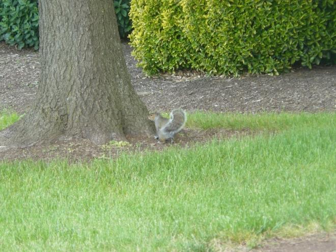 Veverky jsou vidět v kampusu často. Člověka už se bojí jen trochu, lezou do popelnic a asi se mají jako prasata v žitě.