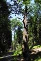 Chráněné duby.